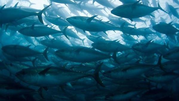 أسماك تونة ملوثة بإشعاعات فوكوشيما على سواحل واشنطن